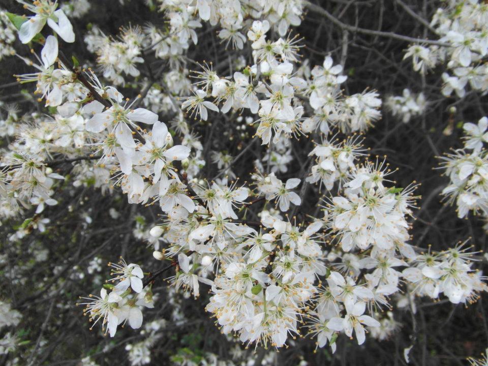 kwiat tarniny mydloteka