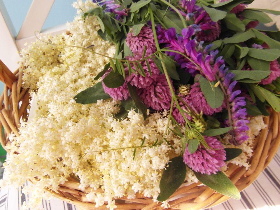 macerat z kwiatów czarnego bzu