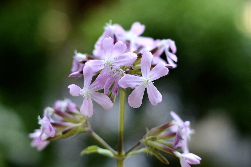 kwiat mydlnicy mydło